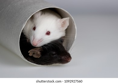 laboratory mice play with tube