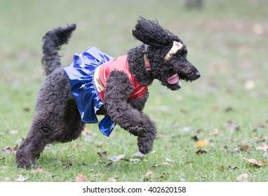 Mini Labradoodle Images, Stock Photos & Vectors | Shutterstock