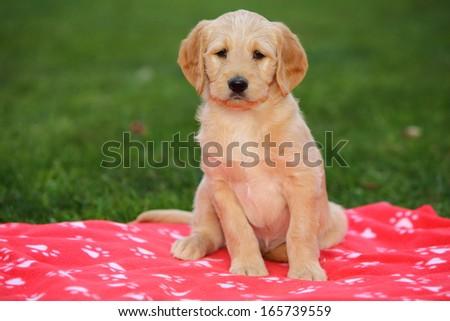 Labradoodle A Labrador Retriever Poodle Designer Stock Photo Edit