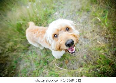 Labradoodle Adorable Dog Face Close Up