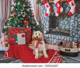Labradoodle at Christmas background