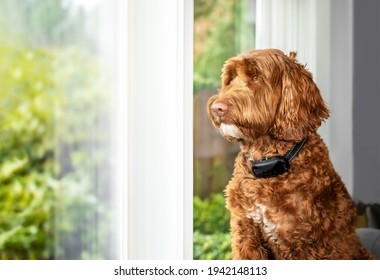 Labradoodle dog with bark collar active. Cute large female adult dog sitting alone by the window while wearing corrective remote training collar to reduce barking at outside action. Selective focus.
