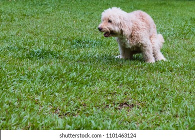 Labradoodle mix dog pooping shitting potty at park