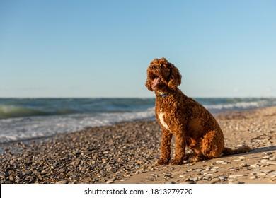 A labradoodle on a rocky shore
