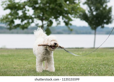 Labradoodle at the park