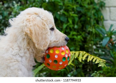 Labradoodle puppy playing with red ball