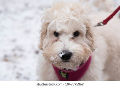 Labradoodle in snow