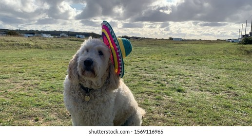 Labradoodle wearing a sombrero by the coast