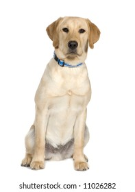 Labrador (6 month) in front of a white background