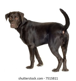 Labrador (8 months) in front of a white background