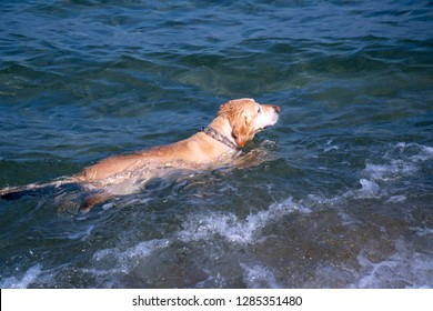 Labrador breed yellow dog swimming in the sea