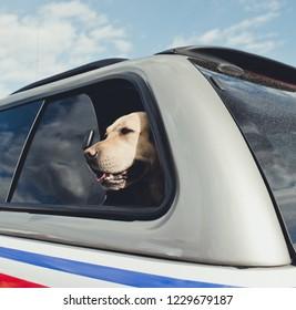 Labrador in car/toned photo