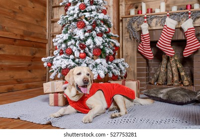 Labrador in Christmas costume sitting near the Christmas tree, pet dog in a New Year's interior