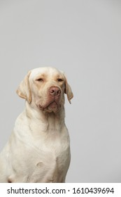 The labrador creates a series of nearly 100 microexpressions and movements against a gray background, including emotions and emotions
