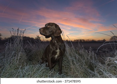 Labrador cross Springer in the field on a frosty morning before sunrise