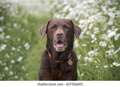 labrador in the daisy field