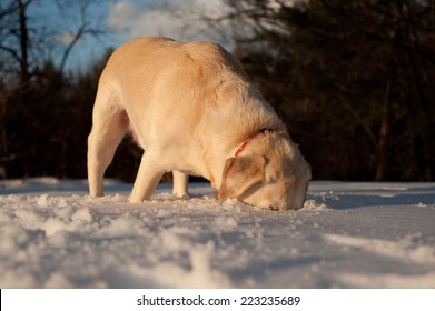 A labrador digs deep in the snow for the tennis ball that has just been thrown.