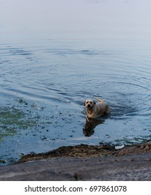 Labrador. Dirty water. The dog is playing. Floats with a wand. Dog floats in the river. Swim. Dirty river bank