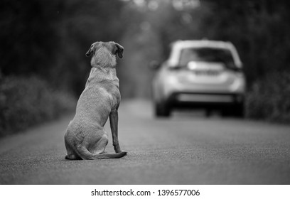 Labrador dog abandoned on the road, in the background leaving the car