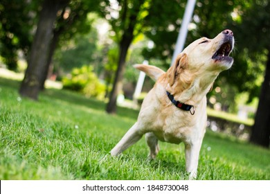 Labrador dog barking at city park