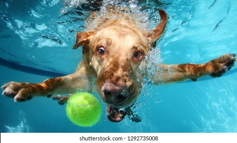 Labrador dog catching ball in water pool