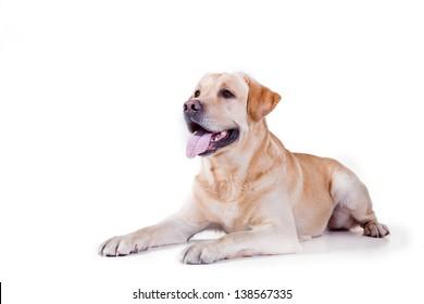 labrador dog in a chair