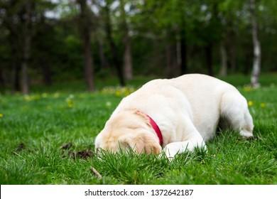 Labrador dog dig a hole