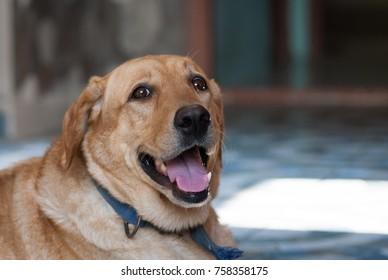 Labrador dog domestic