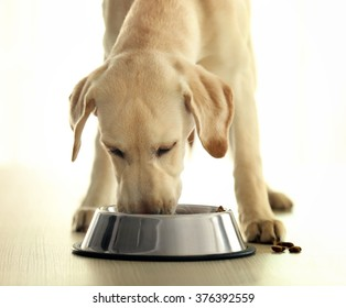 Labrador dog eating food from bowl on wooden table background