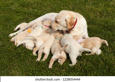 Labrador dog feeding her adorable puppies wearing distinctive colorful scarves, lying on the grass