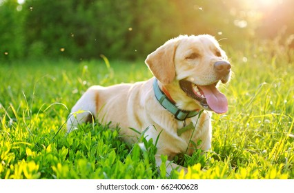 labrador dog lies on the grass in backlight.