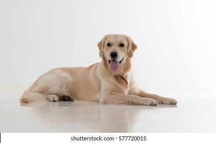 Labrador dog on a white background