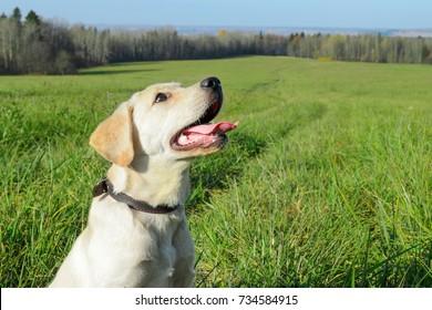 Labrador dog outdoors