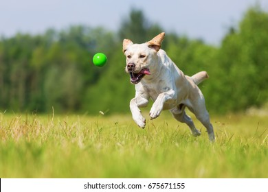 labrador dog playing outdoors and jumps for a ball