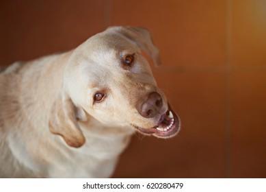 Labrador dog portrait looking up. Adorable brown labrador portrait