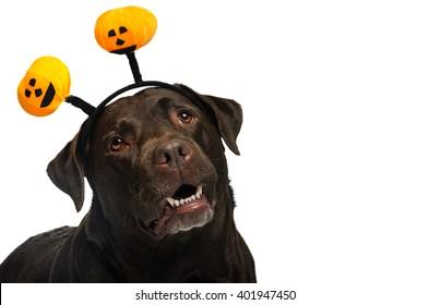 labrador dog with props