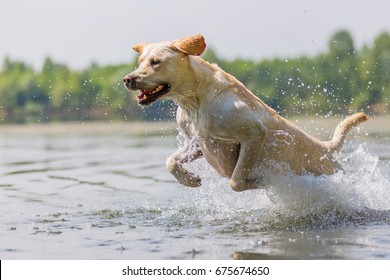 labrador dog runs through the water of a lake