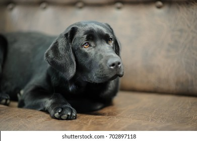 Labrador dog sleeping on sofa