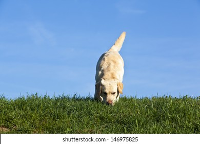 labrador dog sniffing on the ground