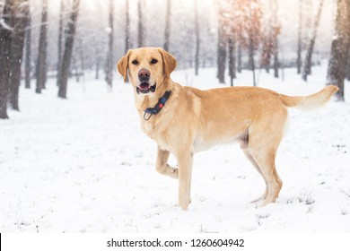 Labrador dog in the snow-covered park