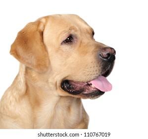 Labrador dog in studio