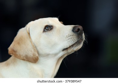 Labrador dog's head on unfocused background, closeup