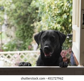 Labrador at the door