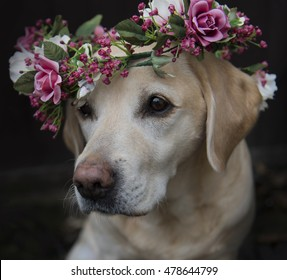 Labrador in flower collar