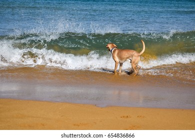 Labrador in front of a big wave on the sandy beach