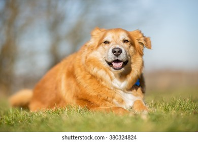 Labrador and Golden retriever dog outdoors on grass field on a sunny spring day.