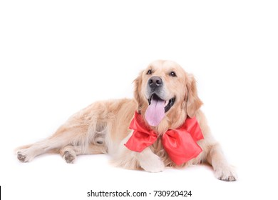 labrador golden retriever in front of white background studio isolated