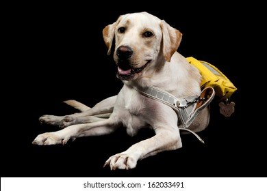 a labrador guide dog for blind people with working packpack and handle