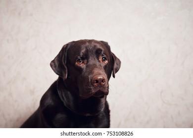 Labrador at home. Dog Resting Inside Home