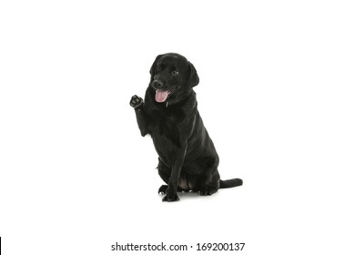 Labrador images, on white background, different poses.